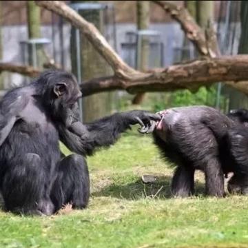 Netanyahu et Abbas devront régler le conflit comme des singes bonobos